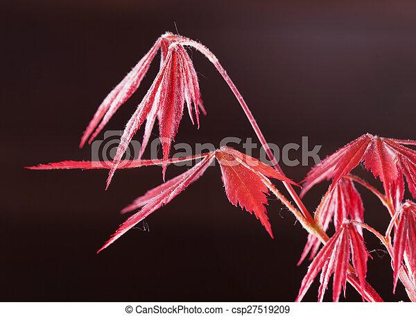 Acer palmatum - csp27519209