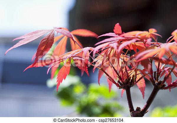 Acer palmatum - csp27653104