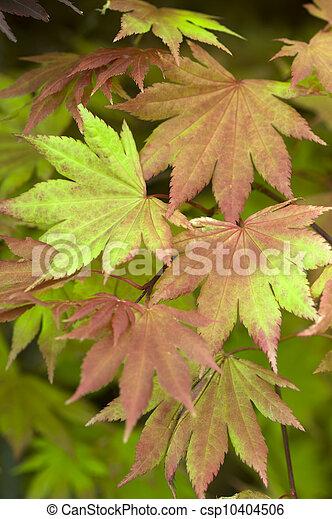 Acer Shirasawanum Autumn Moon Summer Foliage