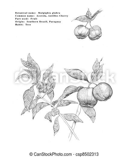 Acerola - csp8502313