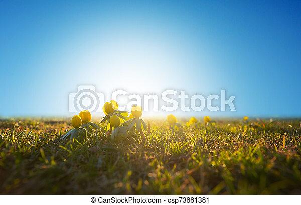aconite, cedo, primavera, inverno, céu azul - csp73881381