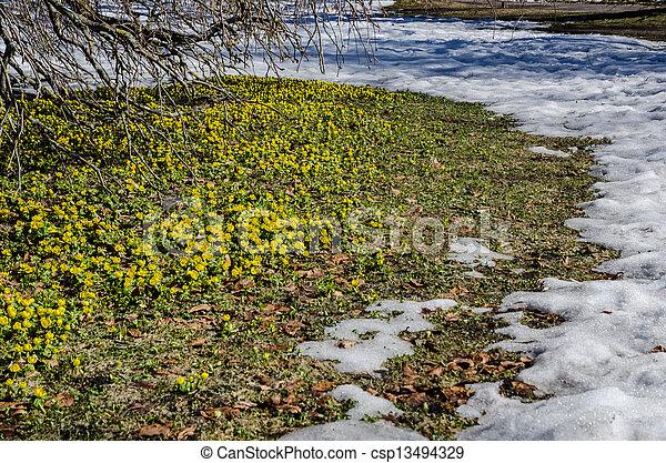 aconites, inverno - csp13494329