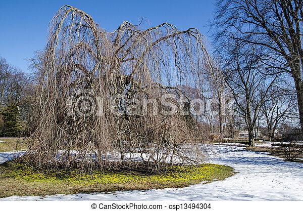 aconites, inverno - csp13494304
