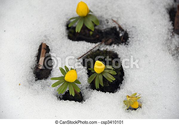 aconites, primavera, inverno - csp3410101