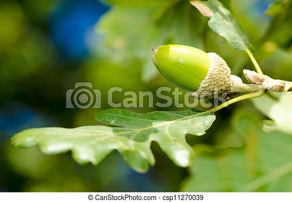 acorn and leaves - csp11270039