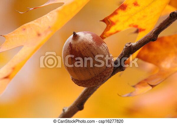 acorn on branch of oak tree - csp16277820