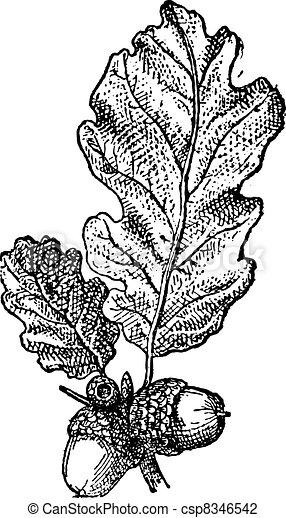 Acorn or Oak nut with leaves, vintage engraving. - csp8346542