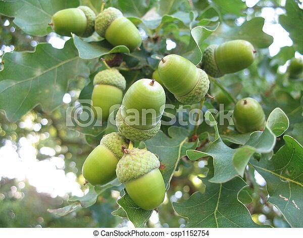 acorn - csp1152754