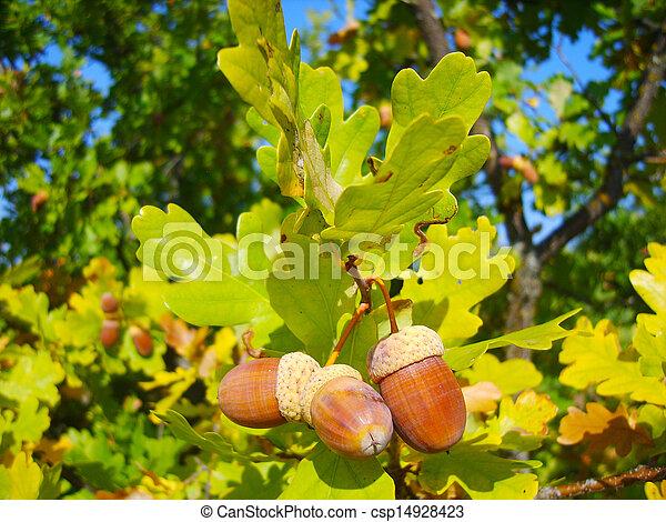 acorn - csp14928423
