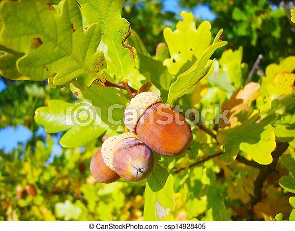 acorn - csp14928405