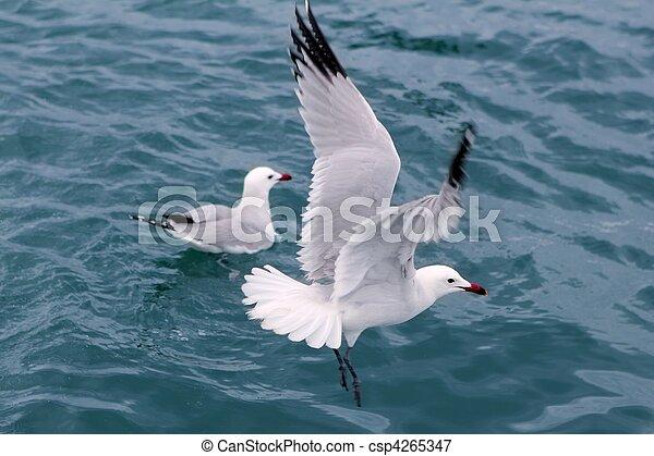 active sea gulls seagulls over blue sea ocean - csp4265347
