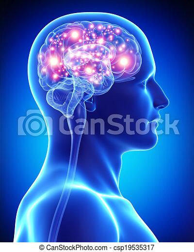 Activo, cerebro, macho, anatomía. Rendido, ilustración, anatomía ...