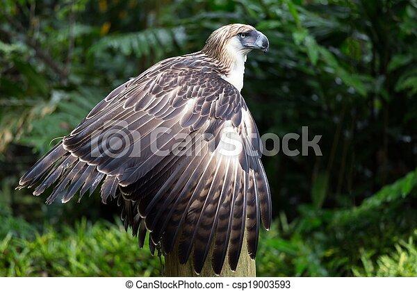 adelaar, filippijn - csp19003593
