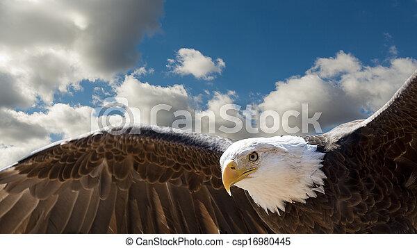 adelaar, kaal, vliegen - csp16980445