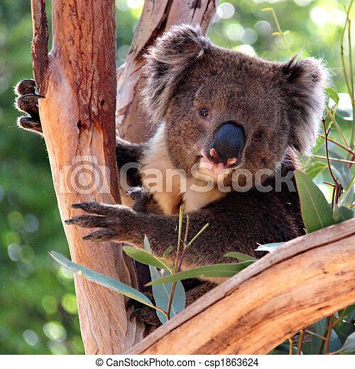 Koala en un árbol de eucalipto, adelaide, australia - csp1863624