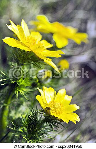 adonis vernalis - csp26041950