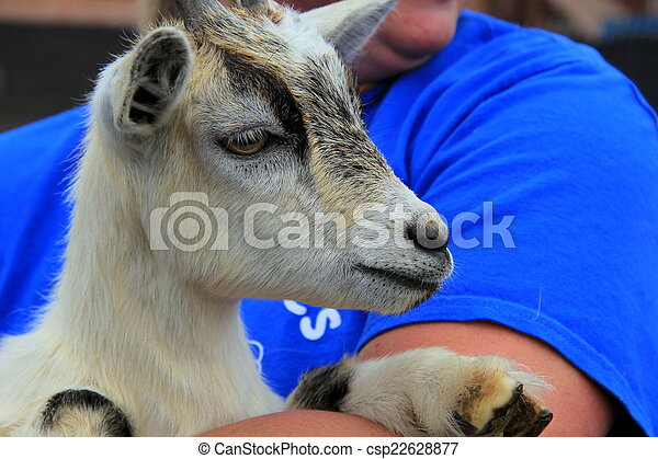 Adorable billy goat  - csp22628877