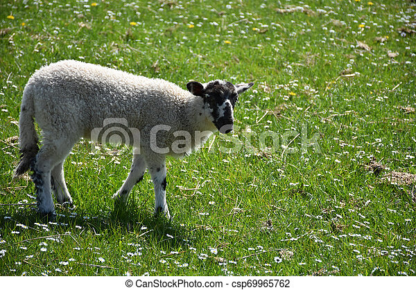 Adorable Black and White Speckled Face Lamb in England - csp69965762