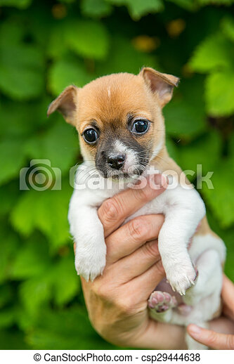 adorable cute chihuahua puppy in a hand - csp29444638
