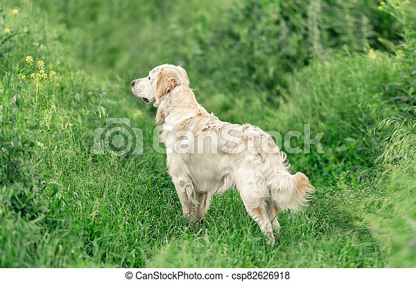 Adorable dog standing in green grass - csp82626918