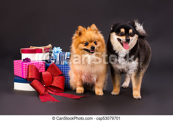 Adorable Pomeranian Dogs And Gift Boxes Two Different Colors Spitz