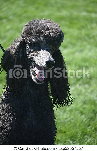 Adorable Purebred Standard Black Poodle In A Field