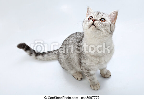 adorable silver tabby Scottish cat looking up - csp8997777