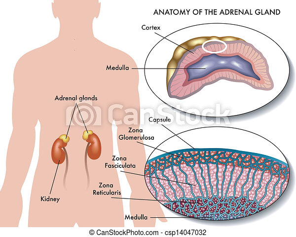 Medical Illustration Of Anatomy Of Adrenal Gland