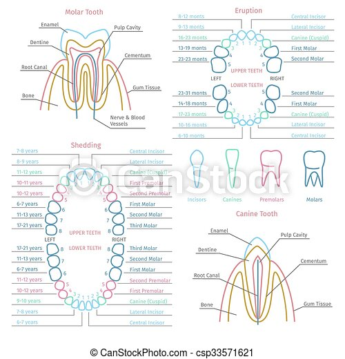 Adult And Baby Tooth Dental Anatomy Vector Infographics Adult And