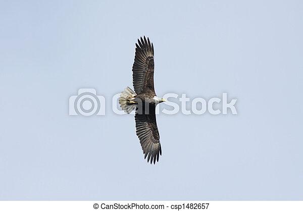 Adult Bald Eagle (haliaeetus leucocephalus) - csp1482657