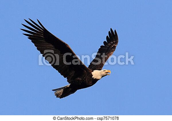 Adult Bald Eagle (haliaeetus leucocephalus) - csp7571078