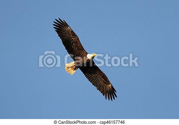 Adult Bald Eagle (haliaeetus leucocephalus) - csp46157746