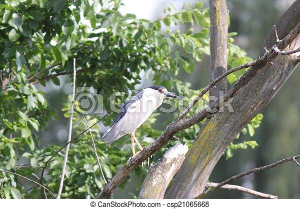 Adult black-crowned night heron - csp21065668