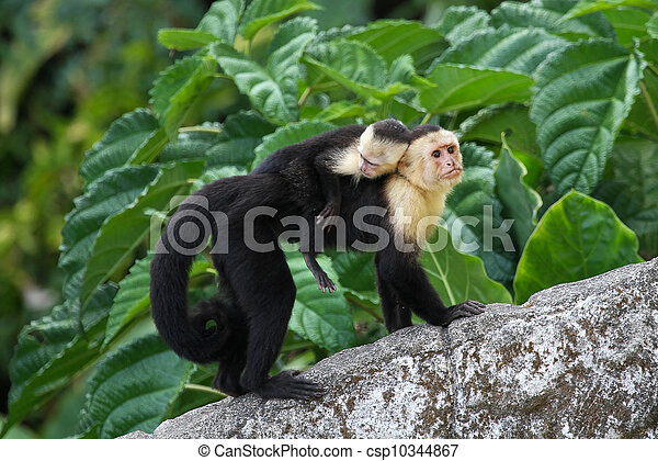 Adult Capuchin Monkey Carrying Baby on its Back - csp10344867