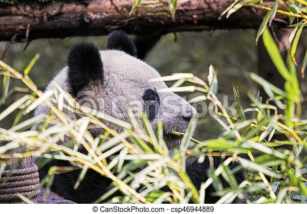 Adult Giant Panda eating bamboo, Chengdu China - csp46944889