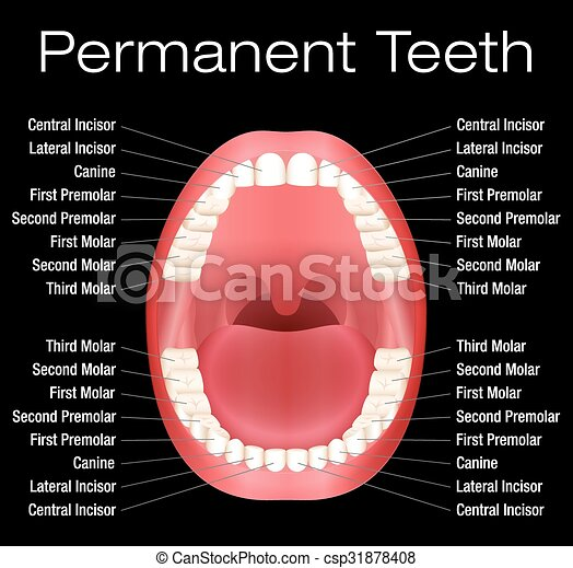 Adult teeth names adult teeth with names vector illustration on adult teeth names csp31878408 ccuart Image collections