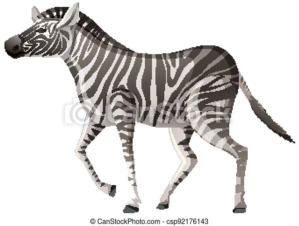 Adult zebra in walking position on white background - csp92176143