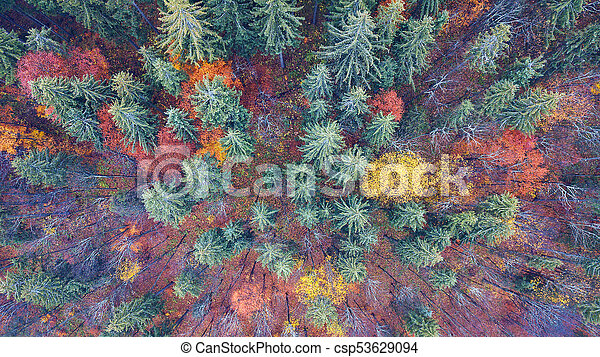 Aerial view of autumn pine forest with yellow and green trees in the mountains - csp53629094