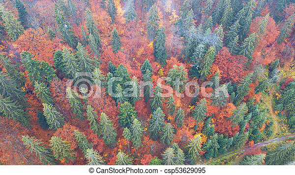 Aerial view of autumn pine forest with yellow and green trees in the mountains - csp53629095