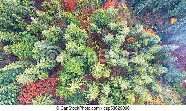 Aerial view of autumn pine forest with yellow and green trees in the mountains - csp53629096
