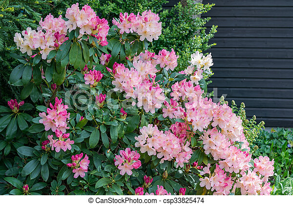 Aerial view pink fuchsia rhododendron blossoms dark picture aerial view pink fuchsia rhododendron blossoms dark background csp33825474 mightylinksfo Choice Image