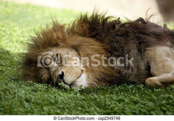 Afican male lion - csp2349749