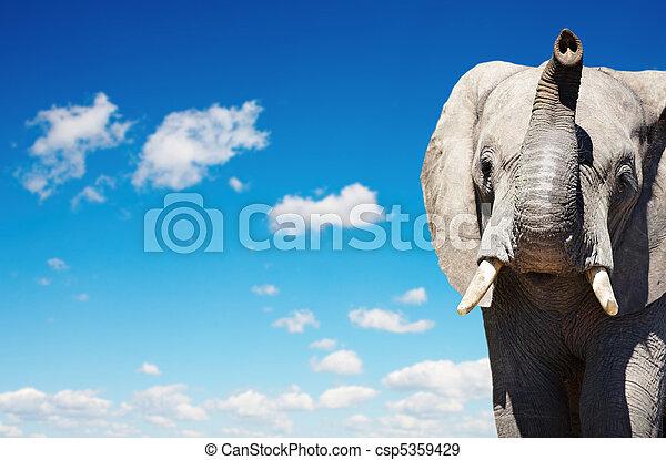 afričan slon - csp5359429