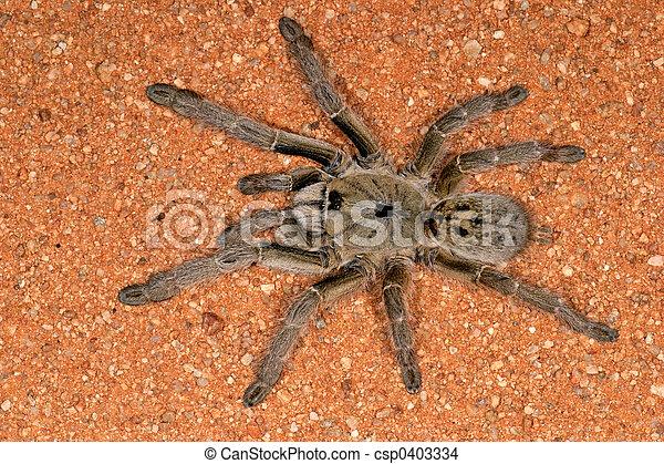 African baboon spider - csp0403334