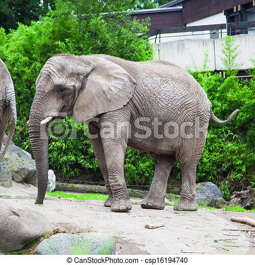 african bush elephant in zoo - csp16194740
