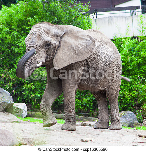 african bush elephant in zoo - csp16305596