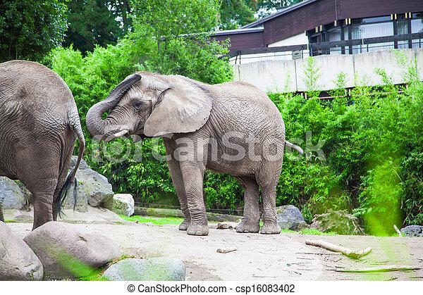 african bush elephant in zoo - csp16083402