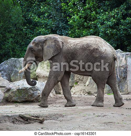 african bush elephant in zoo - csp16143301