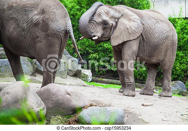 african bush elephant in zoo - csp15953234