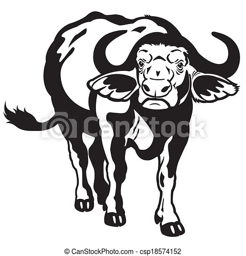 African cape buffalo black white csp18574152